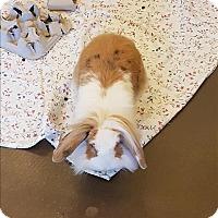 Adopt A Pet :: Dandilion - Maple Ridge, BC