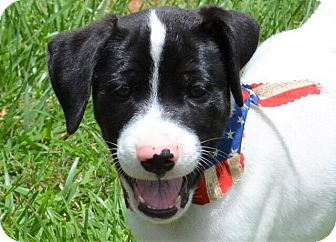 Labrador Retriever Mix Puppy for adoption in Southbury, Connecticut - Fabio