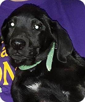 Labrador Retriever Mix Puppy for adoption in Deer Park, New York - Ferdinand