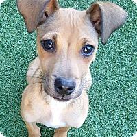 Adopt A Pet :: Barnaby - Joliet, IL