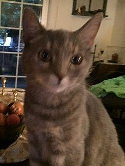 Domestic Shorthair Cat for adoption in Bear, Delaware - Emma Jane