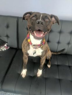 Boxer Mix Dog for adoption in Indianapolis, Indiana - Maeby