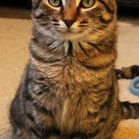 Domestic Shorthair/Domestic Shorthair Mix Cat for adoption in Tahlequah, Oklahoma - Corduroy