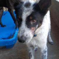 Adopt A Pet :: 35970592 - Greenwood, SC