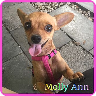 Chihuahua Mix Dog for adoption in Hollywood, Florida - Molly Ann