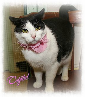 Domestic Shorthair Cat for adoption in Shippenville, Pennsylvania - Crystal