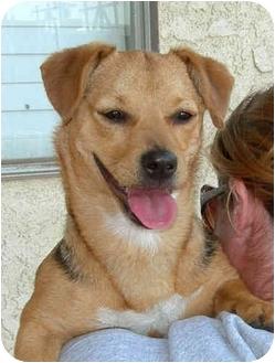 Dachshund/Beagle Mix Dog for adoption in El Segundo, California - Star