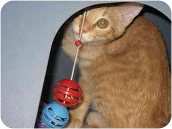 American Shorthair Cat for adoption in Terre Haute, Indiana - Valentino