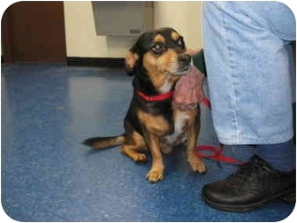 "Dachshund Mix Dog for adoption in MARION, Virginia - ""Willie"""