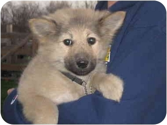 Australian Shepherd/Keeshond Mix Puppy for adoption in Milford, New Jersey - Ivy