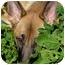 Photo 4 - German Shepherd Dog Dog for adoption in Los Angeles, California - Leilani von Graulich