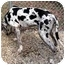 Photo 3 - Great Dane Dog for adoption in Ridgeville, South Carolina - Rudy - ADOPTED!