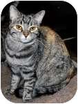 Domestic Shorthair Cat for adoption in Colorado Springs, Colorado - K-Marilyn4-Marie
