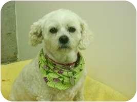 Bichon Frise/Shih Tzu Mix Dog for adoption in Creston, British Columbia - Jenny