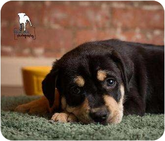 Rottweiler/Mastiff Mix Puppy for adoption in Rochester, New York - Kolin