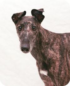 Greyhound Dog for adoption in West Palm Beach, Florida - Destiny