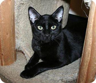 Bombay Kitten for adoption in Scottsdale, Arizona - Josh- Courtesy Post