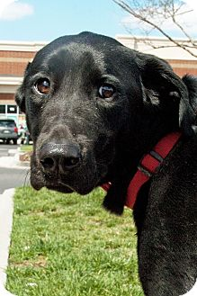Labrador Retriever Mix Dog for adoption in Richmond, Virginia - Carter