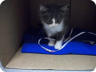 Domestic Shorthair Kitten for adoption in China, Michigan - Isaac - Pending