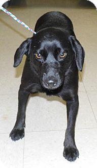 Pug/Labrador Retriever Mix Dog for adoption in Washington Court House, Ohio - Jazz