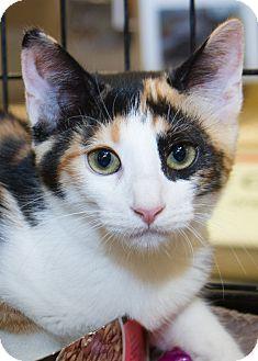 Calico Kitten for adoption in Irvine, California - Catarina