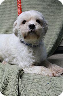 Maltese Dog for adoption in Hamburg, Pennsylvania - Munchkin