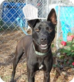 Labrador Retriever Mix Dog for adoption in Bradenton, Florida - Hannah