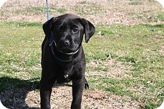 Labrador Retriever Mix Puppy for adoption in Conway, Arkansas - Cayenne