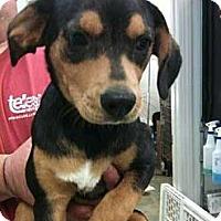 Adopt A Pet :: Cinco - Southampton, PA