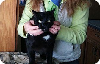 American Shorthair Cat for adoption in Swansea, Massachusetts - Jett