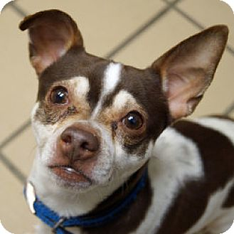 Chihuahua Mix Dog for adoption in Eatontown, New Jersey - Oliver