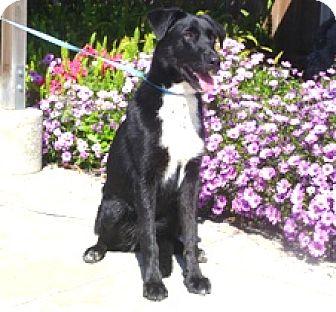 German Shepherd Dog/Labrador Retriever Mix Dog for adoption in Lathrop, California - Cody