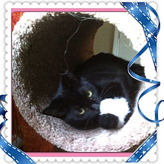 Domestic Shorthair Cat for adoption in Harrisburg, North Carolina - Peggy