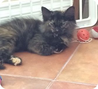 Domestic Shorthair Kitten for adoption in Brea, California - PRINCESS PATCHES