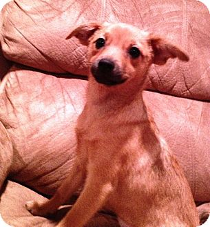 Chihuahua Mix Puppy for adoption in Buffalo, New York - Margie