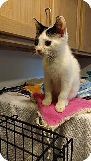 Domestic Shorthair Kitten for adoption in Hanna City, Illinois - Spirit
