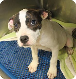 American Pit Bull Terrier Mix Puppy for adoption in Philadelphia, Pennsylvania - Piper