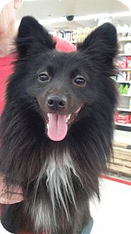 Pomeranian Mix Puppy for adoption in Rocky Mount, North Carolina - Ryder