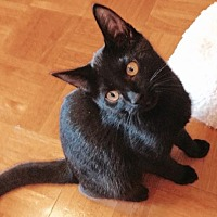 Domestic Shorthair Kitten for adoption in Royal Palm Beach, Florida - Double Dutch Bus