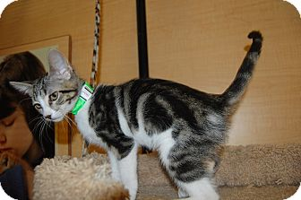 Domestic Shorthair Kitten for adoption in Whittier, California - Lida Mae