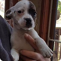 Adopt A Pet :: Bo - Antioch, IL