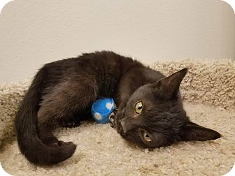 Domestic Shorthair Kitten for adoption in Colonial Heights, Virginia - Noir