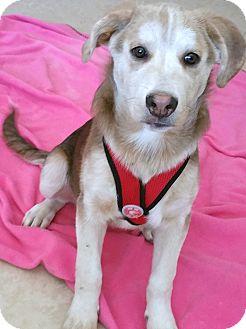 Labrador Retriever/Australian Cattle Dog Mix Puppy for adoption in Phoenix, Arizona - Motzer