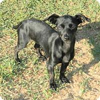 Adopt A Pet :: Phoebe - Umatilla, FL