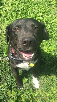American Pit Bull Terrier/Labrador Retriever Mix Dog for adoption in Waggaman, Louisiana - Diesel