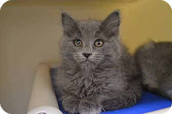 Domestic Longhair Kitten for adoption in Buena Vista, Colorado - Grady