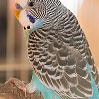 Parakeet - Other for adoption in Elizabeth, Colorado - Chip