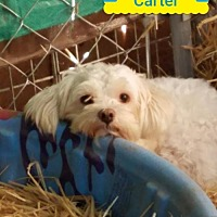 Adopt A Pet :: Carter - Lakeport, CA