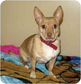 Chihuahua Mix Dog for adoption in Ile-Perrot, Quebec - Maya