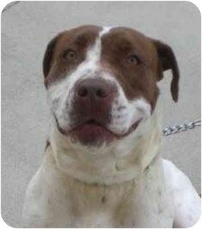 Pit Bull Terrier Mix Dog for adoption in McCormick, South Carolina - Honeybee